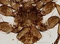 Melophagus ovinus (YPM IZ 093746).jpeg