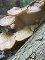 Meripilus giganteus 97529674.jpg
