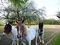 Mes amis les chevaux - panoramio.jpg