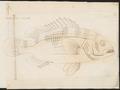 Mesoprion johnii - 1774-1804 - Print - Iconographia Zoologica - Special Collections University of Amsterdam - UBA01 IZ12900314.tif
