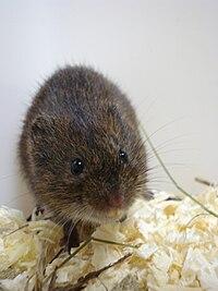Microtus - Wikipedia