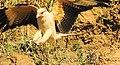 Milvago chimchima (8468576885).jpg
