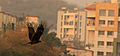 Milvus migrans By Anis Shaikh 26.jpg