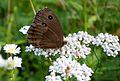 Minois dryas on Achillea alpina - Flickr - odako1.jpg