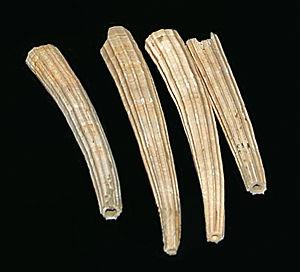 Dentalium (genus) - Image: Mollusca Dentalium