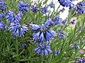 Moltkia × intermedia -維也納高山植物園 Belvedere Alpine Garden, Vienna- (29048277981).jpg