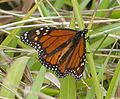 Monarch. Danaus plexippus - Flickr - gailhampshire.jpg