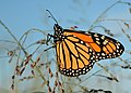 Monarch switchgrass (24962177100).jpg