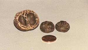 Mongongo - Mongongo nut, with US penny for scale