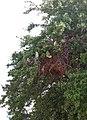Monk parakeet nest.jpg