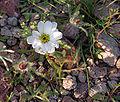 Monoptilon bellioides KOFA.jpg