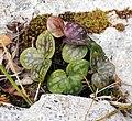 Monte Buciero - plant.jpg