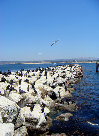 Monterey, California - Birds along a rock sea wall near the Coast Guard Station, which borders the Monterey Bay National Marine Sanctuary.