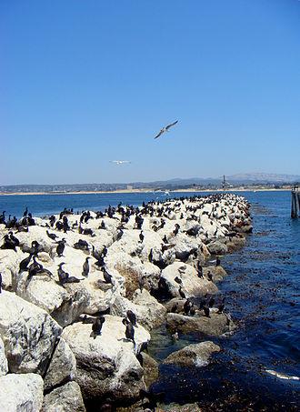 Monterey, California - Birds along a rock sea wall near the Coast Guard Station, which borders the Monterey Bay National Marine Sanctuary.