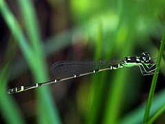 Mortonagrion hirosei