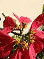 Mosca das flores (Ceriana sp) 02.jpg