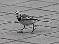 Motacilla alba alba (Madrid, Spain) 03.jpg