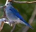 Mountain Blue Bird 3 (8045056078).jpg