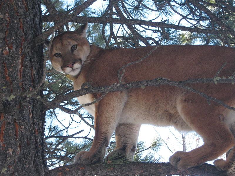 Mountain Lion (14223030832).jpg