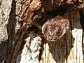 "Mouse Weasel, ""Breite Plateau"" near Sighişoara, Romania (4061038610).jpg"