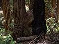 Muir Woods (50568).jpg
