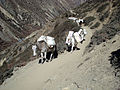 Mule going to manang from upper villages.JPG