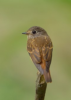 Muscicapa ferruginea -back-8.jpg