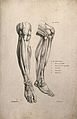 Muscles of the lower leg; two figures of écorché legs and fe Wellcome V0008192EL.jpg