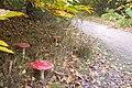 Mushrooms beside the footpath in King's Wood - geograph.org.uk - 1543735.jpg
