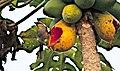 My Papaya (156454391).jpeg