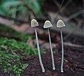Mycena chloroxantha Singer 154519 crop.jpg