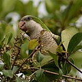 Myiopsitta monachus -Florida -in tree-8e.jpg
