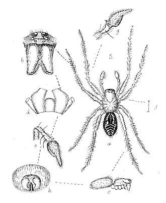 Toxopidae - Myro kerguelenensis