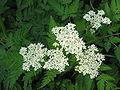 Myrrhis odorata flowers.jpg