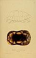 N42 Sowerby & Lear 1872 (chelonoidis carbonaria).jpg
