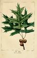 NAS-027 Quercus palustris.png