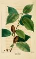 NAS-073 Betula alleghaniensis.png