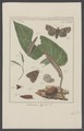 Naenia - Print - Iconographia Zoologica - Special Collections University of Amsterdam - UBAINV0274 003 06 0029.tif