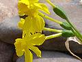Narcissus jonquilla Enfoque 2012-4-01 SierraMadrona.jpg