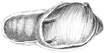 Natural History - Mollusca - Natica.png