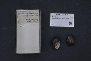 <i>Neritina natalensis</i> species of mollusc