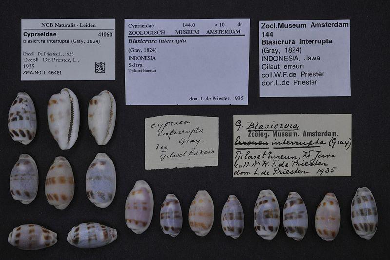 800px-Naturalis_Biodiversity_Center_-_ZMA.MOLL.46481_-_Blasicrura_interrupta_%28Gray%2C_1824%29_-_Cypraeidae_-_Mollusc_shell.jpeg