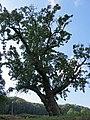Naturdenkmal Jenalöbnitz Birnbaum am Löbichauer Wege.jpg