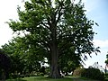 Naturdenkmal Linde Neuenkirchen Melle -Hinter der Linde- Datei 2.jpg