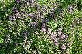 Naturschutzgebiet Mittleres Innerstetal mit Kanstein - Violette Taubnessel.jpg