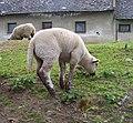 Nedvězí, Pánkova, ovce (02).jpg