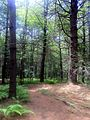 Nehantic Trail off Green Falls Rd in Pachaug State Forest.jpg