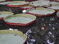 Nenuphars-jardin-pamplemousses.jpg