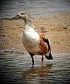 Neochen jubata Pato carretero Orinoco Goose (8501408544).jpg