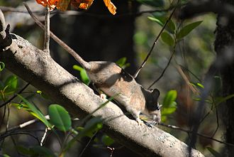 Dusky-footed woodrat - Adult female N. fuscipes, UC Davis Quail Ridge Reserve